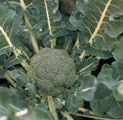 Seminte broccoli Lucky F1 1000 seminte
