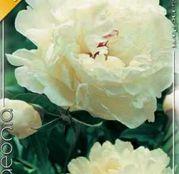 Bulbi de flori Bujori Paeonia Albi 1 buc