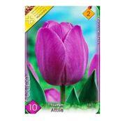 Bulbi de flori Lalea Attila 10buc
