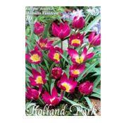 Bulbi de flori Lalea Violacea 10buc