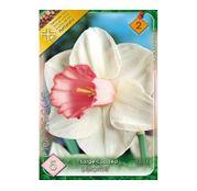 Bulbi de flori Narcisa Salome 5buc