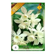 Bulbi de flori Narcisa Thalia 4buc