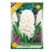 Bulbi de flori Zambile Carnegie 3 buc
