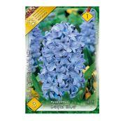 Bulbi de flori Zambile Delft Blue 3 buc