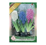 Bulbi de flori Zambile preparate amestec de culori 3buc