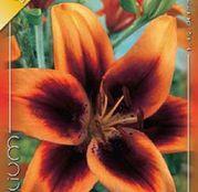 Bulbi de flori Crin Asiatic Hybrid Twosome 1buc