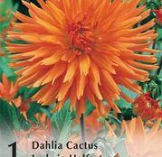 Bulbi de flori Dalia Cactus Ludwig Helfert 1buc