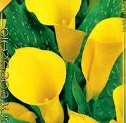 Bulbi de flori Cala Yellow 1 buc