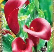 Bulbi de flori Cala Red 1buc
