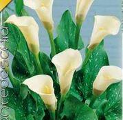Bulbi de flori Cala White 1buc