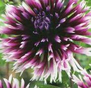 Bulbi de flori Dalia Cactus Clair Obscure 1buc