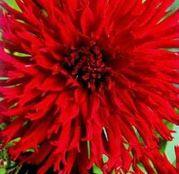 Bulbi de flori Dalia Cactus Apache 1buc