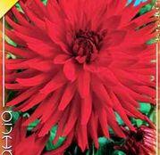 Bulbi de flori Dalia Cactus Berger's Record 1buc