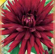 Bulbi de flori Dalia Cactus Chat Noir 1buc