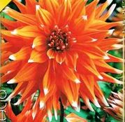 Bulbi de flori Dalia Cactus Colour Spectacle 1buc