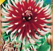 Bulbi de flori Dalia Cactus Friquolet 1buc