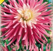 Bulbi de flori Dalia Cactus Good Earth 1buc