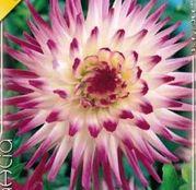Bulbi de flori Dalia Cactus Hayley Jane 1buc