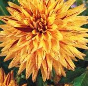 Bulbi de flori Dalia Cactus Hy Pimento 1buc