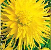 Bulbi de flori Dalia Cactus Kennemerland 1buc