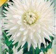 Bulbi de flori Dalia Cactus My Love 1buc