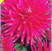 Bulbi de flori Dalia Cactus Purple Gem 1buc