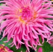 Bulbi de flori Dalia Cactus Star Favorite 1buc