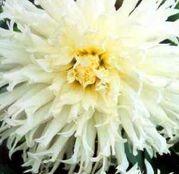 Bulbi de flori Dalia Cactus Tsuki Yori No Shisha 1buc