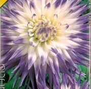 Bulbi de flori Dalia Cactus Veritable 1buc