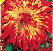 Bulbi de flori Dalia Cactus Vuurvogel 1buc