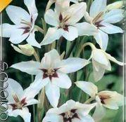 Bulbi de flori Gladiole Callianthus Muriliae 10buc