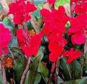 Bulbi de flori Canna Red Leaves 1buc