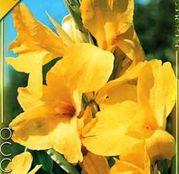 Bulbi de flori Canna Indica Yellow 1buc
