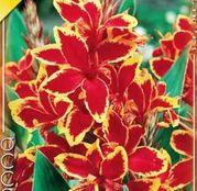 Bulbi de flori Canna Lucifer 1buc