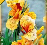 Bulbi de flori Canna Picasso 1buc