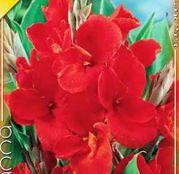 Bulbi de flori Canna Indica Red1buc