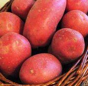 Cartofi de samanta Laura 50 tuberculi