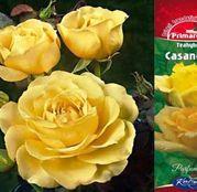 Butasi de trandafiri Teahibrid Casanova