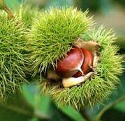 Arbusti fructiferi Castan comestibil