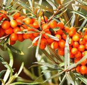 Arbusti fructiferi Catina - 3 plante