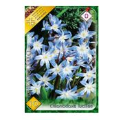 Bulbi de flori Chionodoxa luciliae 10buc