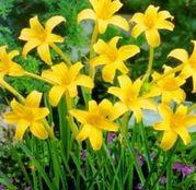 Bulbi de flori Chlidanthus Fragrans 3buc