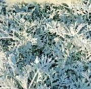 Seminte flori Cineraria (Senecio maritima) 0.1g