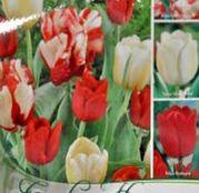Colectia bulbi lalele 3X6 Rosu-Alb