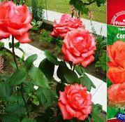 Butasi de trandafiri Teahibrid Comet