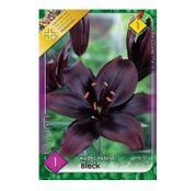 Bulbi de flori Crin Asiatic Hybrid Black 1buc