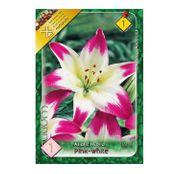 Bulbi de flori Crin Asiatic Pink-White 1buc