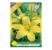 Bulbi de flori Crin Asiatic Hybrid Yellow 1buc