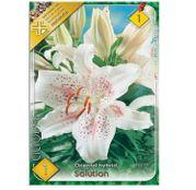 Bulbi de flori Crin oriental hibrid Solution 1buc