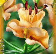 Bulbi de flori Crin Double L/A Hybrid Apricot fudge 1buc